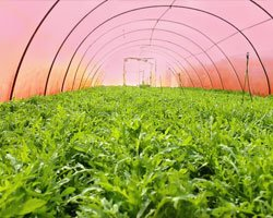 Богатый урожай рукколы в поликарбонатном парнике GREENHOUSE-nano.