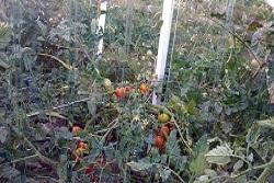 Прекрасный урожай в теплицах из листов монолитного поликарбоната ПЛАСТИЛЮКС