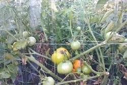 Прекрасный урожай, выращенный в парниках из монолитного поликарбоната для теплиц