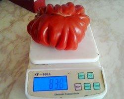 Рекордный урожай томатов, полученный под поликарбонатом GREENHOUSE-nano.