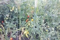 Урожай овощей в теплицах из монолитного поликарбоната
