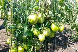 Урожай помидоров в теплице из монолитного поликарбоната производства ПЛАСТИЛЮКС-ГРУПП