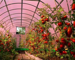 Ускорение процесса фотосинтеза томатов под ячеистыми листами GREENHOUSE-nano.